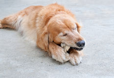 Golden retriever chewing Stock Photos