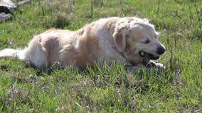 Golden retriever chews on a stick stock footage