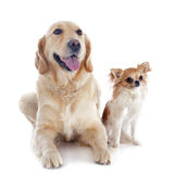 Golden retriever and chihuahua Stock Photos