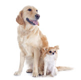 Golden retriever and chihuahua Royalty Free Stock Photos