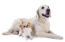 Golden retriever and chihuahua. Purebred golden retriever and chihuahua in front of a white background Stock Images