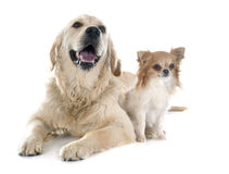 Golden retriever and chihuahua Royalty Free Stock Photo