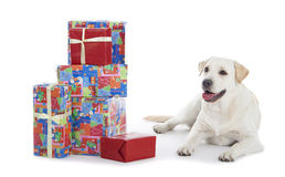 Golden Retriever with Christmas gifts Stock Image