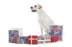 Golden Retriever with Christmas gifts Stock Photo