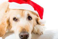 Golden retriever with christmas hat Stock Photos