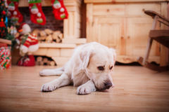 Golden retriever, Christmas and New Year Royalty Free Stock Image