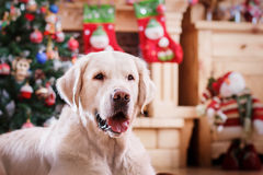 Golden retriever, Christmas and New Year Stock Image