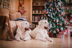 Golden retriever, Christmas and New Year Royalty Free Stock Photo