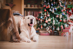 Golden retriever, Christmas and New Year Royalty Free Stock Photos