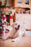 Golden retriever, Christmas and New Year Stock Images