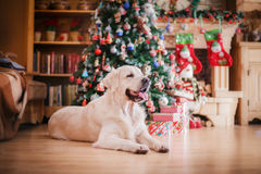 Golden retriever, Christmas and New Year Stock Photos
