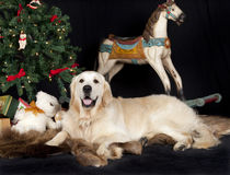 Golden retriever and christmas tree Stock Image