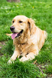 Golden Retriever cieszy się w parku Fotografia Royalty Free