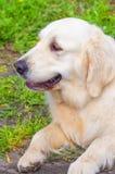 Golden Retriever close-up Royalty Free Stock Photo