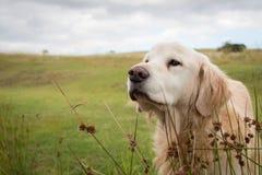 Golden retriever. Close up portrait sniffing royalty free stock photos