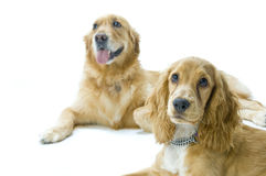 Golden Retriever and Cocker Spaniel Together Royalty Free Stock Image