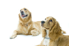 Golden Retriever and Cocker Spaniel Together Stock Photo