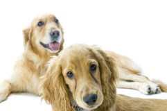Golden Retriever and Cocker Spaniel Together Royalty Free Stock Photography