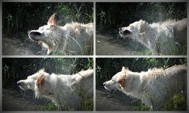 Golden retriever collage shaking in the river Stock Photography