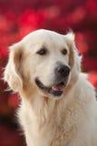 Golden retriever com fundo vermelho de Bokeh Fotos de Stock Royalty Free