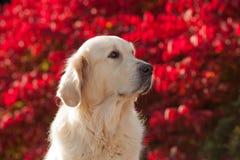Golden retriever com fundo vermelho de Bokeh Imagens de Stock Royalty Free