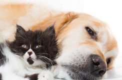 Golden retriever com um gato persa Fotografia de Stock Royalty Free