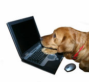 Golden retriever computes. Golden retriever with laptop computer appearing to surf the web or work with it royalty free stock photos