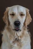 Golden retriever con los ojos cerrados Fotos de archivo libres de regalías