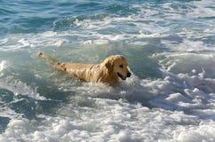 Golden retriever da cor do mel nas ondas do mar Fotos de Stock