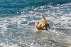 Golden retriever da cor do mel nas ondas do mar Foto de Stock