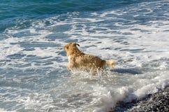 Golden retriever da cor do mel nas ondas do mar Imagens de Stock Royalty Free