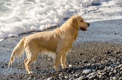 Golden retriever da cor do mel nas ondas do mar Foto de Stock Royalty Free