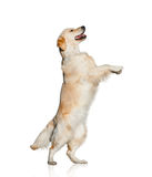 Golden retriever dancing Stock Photo