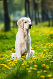 Golden Retriever between dandelions Stock Images