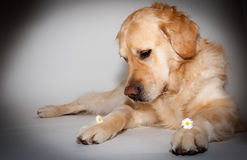 Golden retriever dans le studio de photo Photographie stock libre de droits