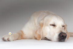 Golden retriever dans le studio de photo Photos stock