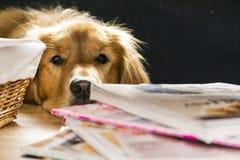 Golden retriever, das ein Stückchen traurig schaut Lizenzfreie Stockfotografie