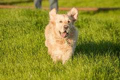 Golden retriever, das in grünes Gras läuft Stockfoto