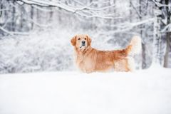 Golden retriever, das im Schnee im Winter steht stockbild