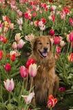 Golden retriever, das im Tulpenfeld sitzt Stockbild