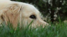 Golden retriever, das traurig auf dem Gras liegt stock video footage