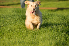 Golden Retriever Dashing Off Stock Image