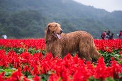 Golden retriever in de bloemen Stock Fotografie