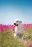 Golden retriever de chien en fleurs Photographie stock