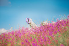 Golden retriever de chien en fleurs Photographie stock libre de droits