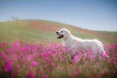Golden retriever de chien en fleurs Image libre de droits