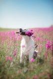 Golden retriever de chien en fleurs Images stock