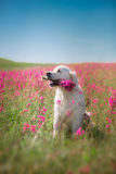 Golden retriever de chien en fleurs Photo stock