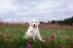 Golden retriever de chien en fleurs Photos stock