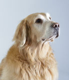 Golden retriever de crabot Image stock
